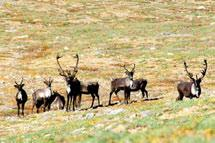Caribou of the Redstone and Bonnet Plume Herd use high alpine tundra during August September. Note the dark colouration typical of these mountain caribou. Photo: J.