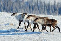 Movements of Boreal caribou can best be described as nomadic, although there may be some seasonal migration to preferred calving and wintering areas.