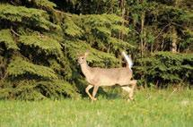 Meikle Mule deer are distributed across the southern Yukon and have been reported in the Liard Ranges MB Ecoregion and in the Liard Plateau HB Ecoregion near the confluence of the Flat and South