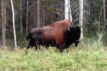 Mountain bison may have been a variety of either plains or wood bison.