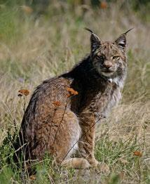 2 Large Carnivores Lynx are widespread in the forested valleys and plateaus of the Mid-Boreal and High Boreal ecoregions of the Boreal Cordillera and achieve high densities when snowshoe hare