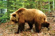 Johnson Grizzly bears occur throughout most ecoregions of the Cordillera, except for the Franklin Mountains LS Ecoregion east of the Mackenzie River.
