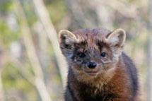Extensive alpine and sub-alpine areas with sparse tree cover are less suitable as marten habitat.