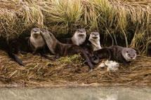Jones River otters, the other aquatic mustelid, are also found throughout the Cordillera, primarily below tree line.