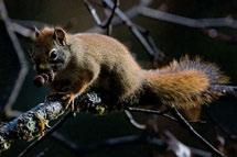 Red squirrels also occur wherever there is tree cover, and achieve highest densities in closed coniferous forests.
