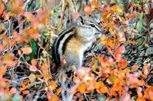 Jones Least chipmunks range as far north as the Taiga Cordillera HS, occupying a variety of habitats from forests to alpine.