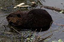 Cordillera. Beavers depend on deciduous vegetation such as aspen, willow, birch and alder, and occur in the Cordillera wherever food supplies are adequate. Photo: D.