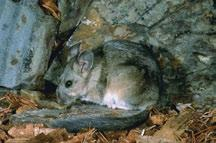 Bushy-tailed woodrats are usually restricted to mountains, and in many parts of North America they are found all the way from the lowest elevations to alpine slopes.