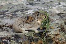 6 Lagomorphs Snowshoe hares range throughout the Cordillera wherever there are forest and tall shrub habitats, and numbers periodically irrupt.