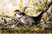 Dusky Grouse are restricted to the extreme southern Cordillera, including Nahanni National Park and often occur near tree line during the breeding season. Photo: S.