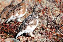 Spitalnik Willow Ptarmigan are year-round residents of the Cordillera and undergo seasonal movements across most of the region.