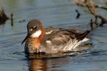 Red-necked Phalaropes are small shorebirds that swim for sustained periods, often in circular motion. During the breeding season the female (shown) is larger and more brightly coloured than the male.