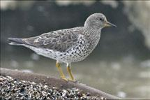 Surfbirds nest on rocky mountain slopes and ridges, and winter along the British Columbia coast south to Vancouver Island. Photo: S.