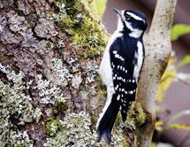 Black-backed Woodpeckers are often associated with decaying old growth forest and burns that provide abundant wood-boring insects.