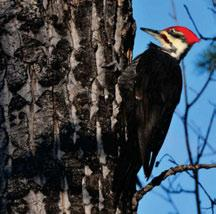 Pileated Woodpeckers require trees of sufficient girth to excavate nest holes, thus their distribution is limited by the availability of large-diameter trees. Photo: D. Johnson 4.3.