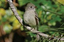 The only other species likely to breed in the Tundra Cordillera HS are Alder Flycatchers which are the most common and widespread.