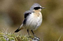 In the Yukon, and possibly also the Northwest Territories, the northerly limit of Hammond s Flycatchers extends beyond that of Least Flycatchers.