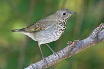 4.3.22 Thrushes Omnivorous diets and habitat versatility likely allow all resident thrush species to occur across the entire Cordillera. Townsend s Solitaires are found only in mountain habitats.