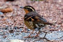 Gray-cheeked Thrushes are retiring ground-foraging songbirds that prefer to nest low in conifers, or on the ground at the base of tall shrubs or thick undergrowth. Photo: L.