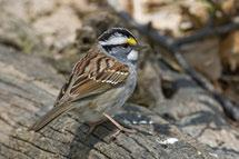 Jones American Tree Sparrows breed throughout northern Canada including the Cordillera. They occur in various forest and shrubland habitats - along streams, in bogs and above tree line. Photo: L.
