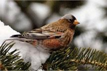 Johnson Purple Finches, Pine Siskins and Red Crossbills occur in the Boreal Cordillera, as well as southerly portions and foothills of the Taiga Cordillera.