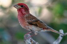 White-winged Crossbills occur year-round in open coniferous or mixed-wood forests throughout the Cordillera.