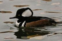 Hooded Merganser single sighting from Boundary Lake (Tlogotsho Range HB Ecoregion).