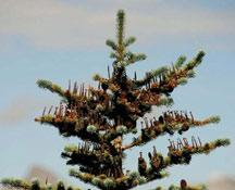 The range of alpine fir (Abies bifolia) extends north to the milder, moister parts of the Cordillera.