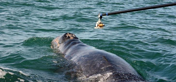 Movements, Nursing Rates and Vocal Behavior of Gray Whale Mothers and Calves Figure 11. The D-Tag with suction-cup attachments (upper left), and the method of applying the D-Tags. Dr.