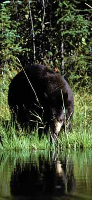 BEAR WISE Parent/Teacher Resources FACT SHEETS What you can do What your community can do What campers can do What cottagers can do What farmers can do What your food business can do Bears in your