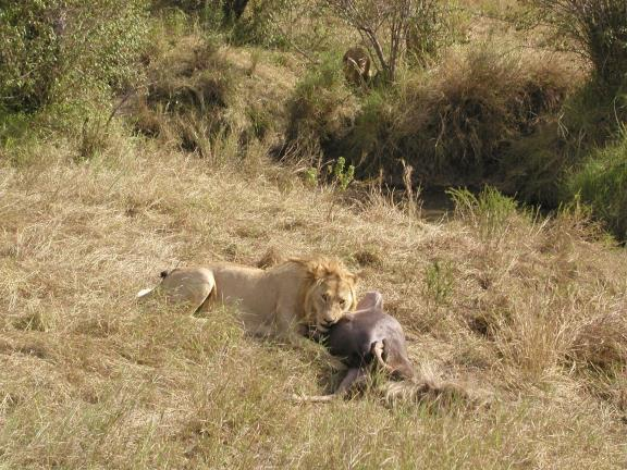 The Benefits of Ecotourism An adult male lion in