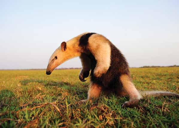 GIANT ANTEATER Terms & Conditions Deposit & Final Payment A $1,000-per-person deposit is required to reserve space on this program.