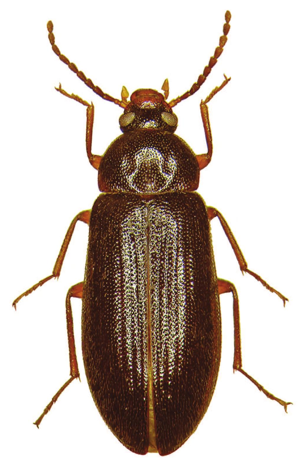 an attractant for numerous saproxylophagous beetles (Bouget and Brustel 2009).