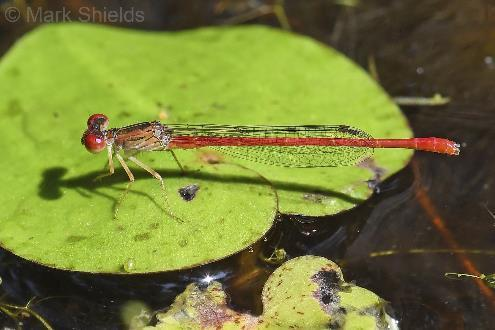 Conservation, Restoration and Biology Duckweed Firetail Darter Damselfly Photo Credit Dr.