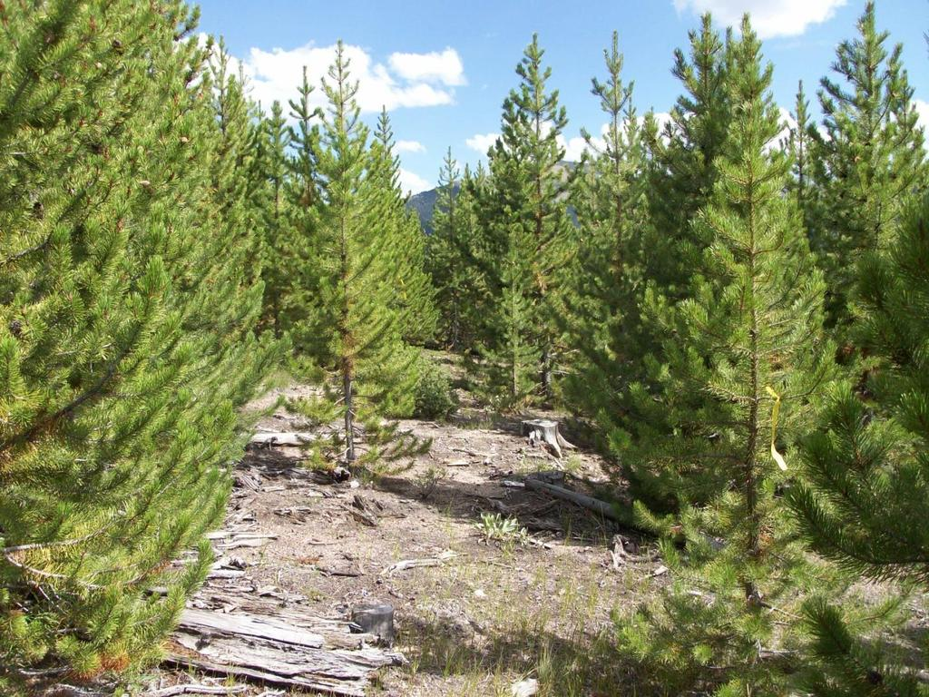 Figure 3 In this section of trail through a stand of regeneration in a clearcut, the trail