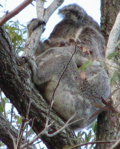 KOALA MONITORING RESULTS KOALA SIGHTINGS Koalas sightings from transect searches: 1 x AF with a back young + 1 x S-AM in 2005 2 x AF in 2007 2 x AF +
