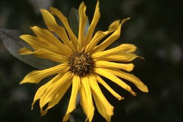 E-Flora BC Atlas Page http://linnet.geog.ubc.ca/atlas/atlas.aspx?sciname=helianthus+nuttallii ssp. rydbergii Page 1 of 2 4/12/2016 Author, Date. Page title. In Klinkenberg, Brian. (Editor) 2015.